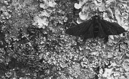 Peppered Moths Natural Selection In Black And White